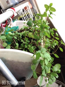 How to propagate mint plant