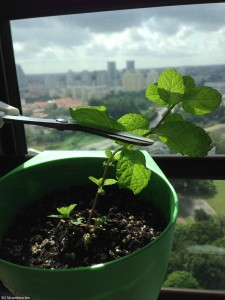 How to grow mint from cutting