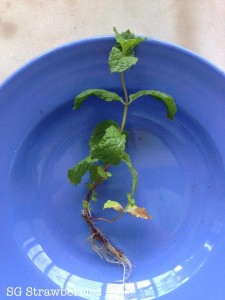 How to root mint and other herbs