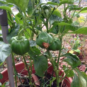 Benefits of home made liquid kelp fertilizer for capsicum plants
