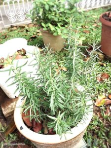 Grow rosemary from cutting