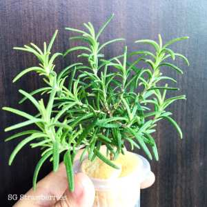 Rosemary Plant Care in the tropics