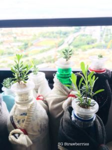 Grow lavenders from seeds