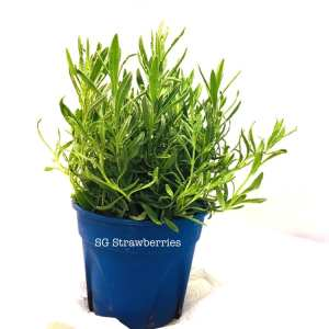 How to grow lavenders well in Singapore
