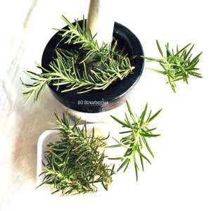 Grow Rosemary from seeds or cutting in Singapore