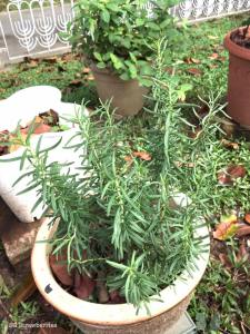 Grow rosemary plant from cutting