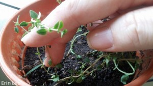 Multiply thyme from rooting