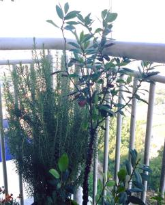 How to care for rosemary