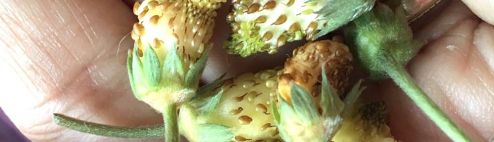 Grow Heirloom Pineapple Strawberries from seeds