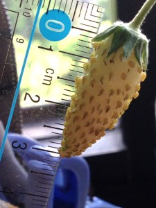 Grow Pineapple Strawberries