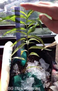 How to grow flat peach from seed