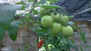 Pests free tomatoes plants