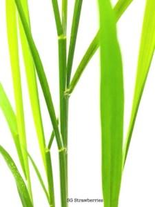 Grow rice from seeds husks