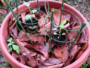 Grow bell peppers