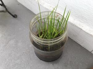 Grow rice in pot