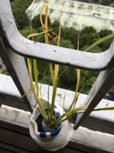 Grow rice from seeds in Singapore