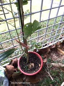 Topping off okra plant