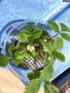 Tropical strawberry planter ideas