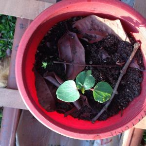 Red okra from seed