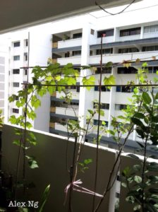 Grow Grapes in Singapore