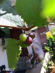 Grape growers in Singapore