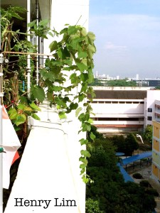 Grapes in high rise apartments