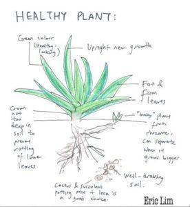 Healthy Aloe Vera Signs