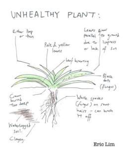Aloe Vera Plant Care and Problems