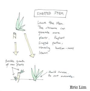 Aloe Vera Plant Care and Problems