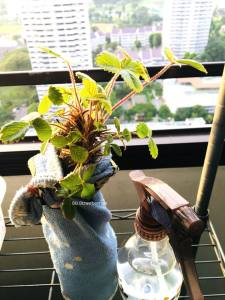GRow strawberries in Singapore