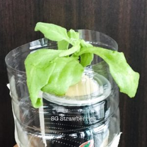 Grow ice plants from seeds in Singapore
