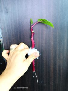 Malabar Spinach from Cutting