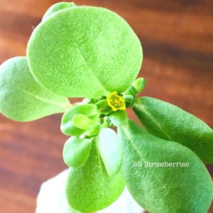 Grow edible succulent from seeds
