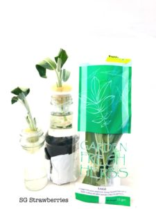 Grow Sage from cuttings in Singapore