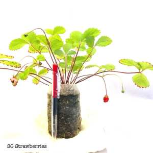 Strawberries Plants Tropical Care