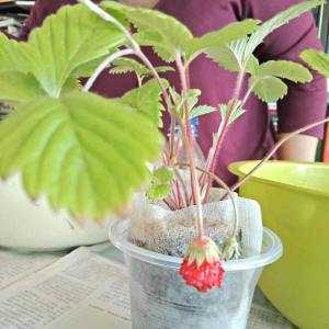 learn how to grow strawberries from seeds in Singapore