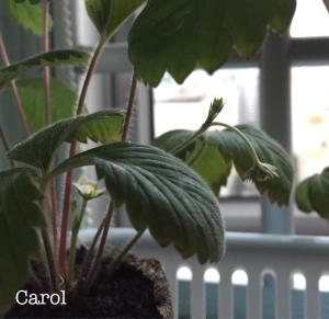 learn how to grow strawberries from seeds workshop in Singapore