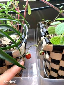learn how to grow strawberries from seeds witha personal trainer