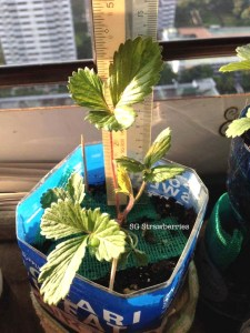 Grow White Soul strawberries from seeds