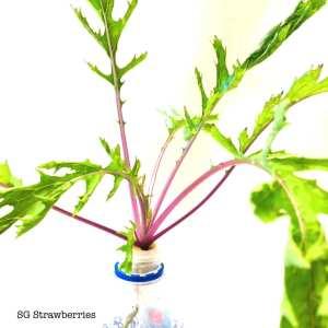 Grow Mizuna ミズナ, 水菜, Beni HOUSHI in containers