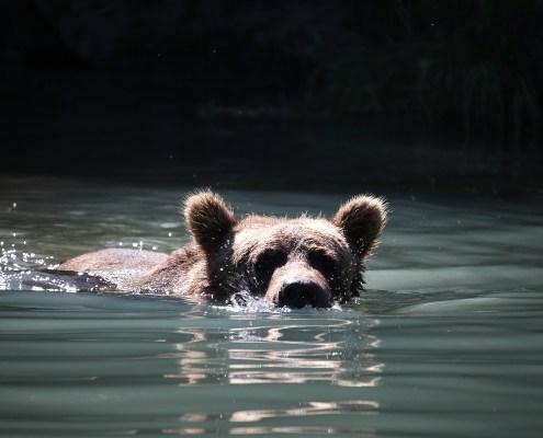 Alaska: orsetto