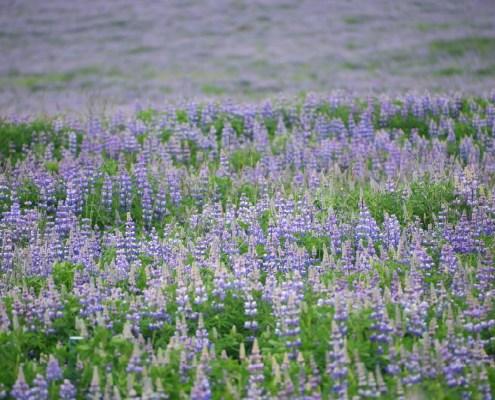 Islanda: lilla