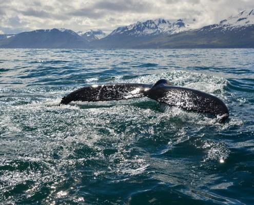 Islanda coda balena con panorama