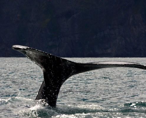 Islanda coda balena 4