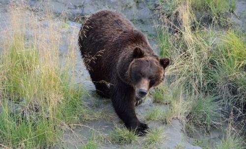 Alaska: grizzlie