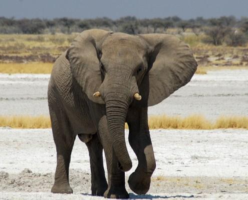 Namibia: Etosha NP. Elefante,