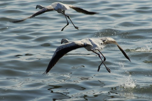 Namibia: Fenicottteri a Walvis Bay