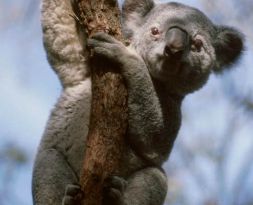 Australia: koala.