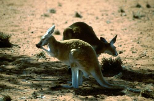Australia: canguri