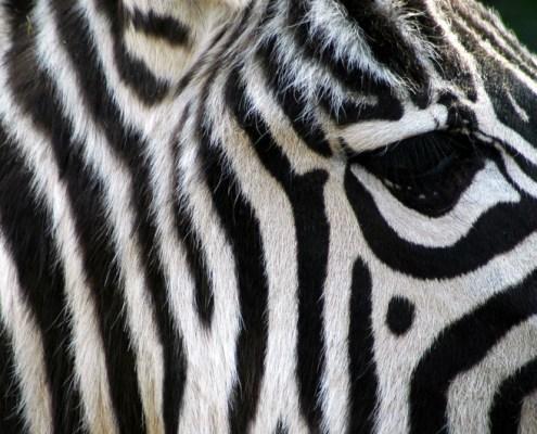 Namibia: Etosha NP. Zebra